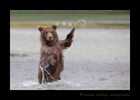 Bear-cub-stand-and-splash