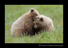 Bear_Cubs_Fighting_in_Alaska