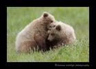 Bear_Cubs_Fighting_in_Alaska