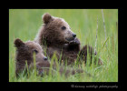 These spring brown bear cubs are wild brown bears living in Alaska.