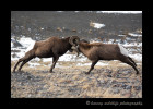Two of the largest bighorn sheep of the herd competing for the ladies.