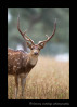 Big-Male-Spotted-Deer
