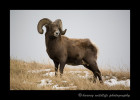 This big ram is in an agressive mode as it is rutting season.