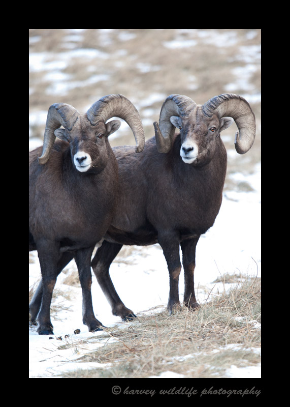 These bighorn sheep are competing for the ladies. This photo was taken during rut. Not only do these sheep bang their heads together, but they also kick one another.