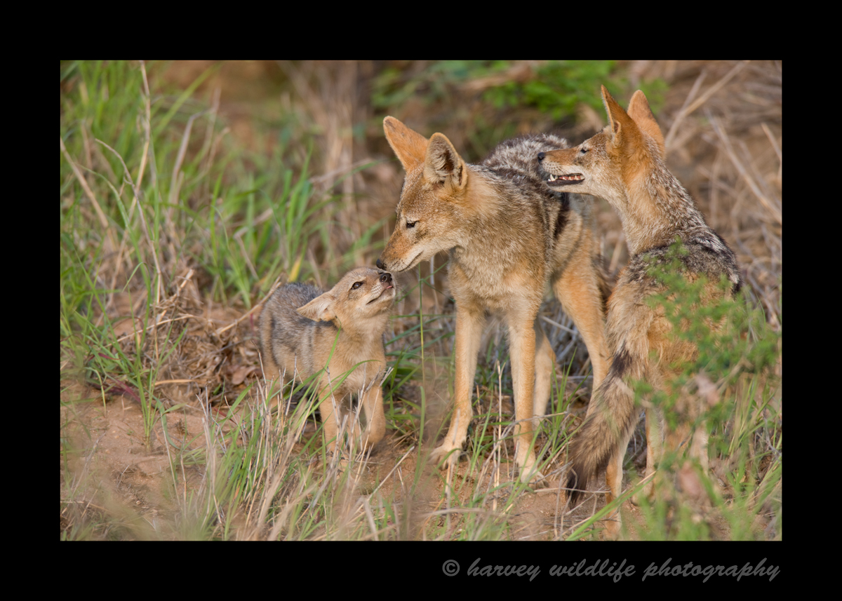 I saw this black backed jackal family from across a field about 50 meters away. I noticed that something had caught their attention in the bush, so I focused on them. Seconds later a baby came running out of the bush to greet mom and dad. The baby was left in the safety of the thick brush while his parents were out hunting. This family greeting is one of my favourite pictures.