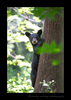 Black Bear Climbing Tree