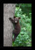 Black Bear Cub Climbing Tree