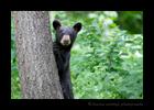 Black Bear Cub Standing, 2018