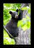 Black-Bear-Cub-in-Tree
