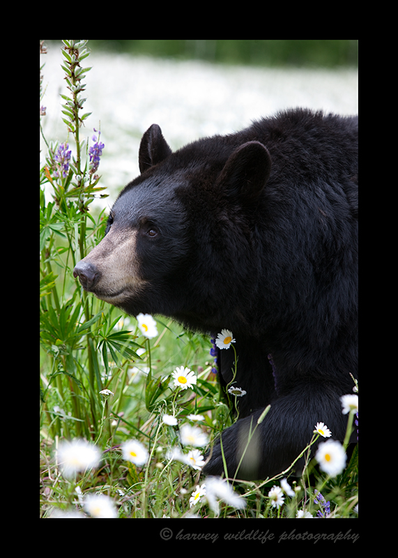 Black Bear in Grass and Daisies
