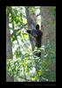 Black Bear Spring Cub Peeking between Trees