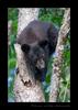 Black Bear Cub Awkward Pose