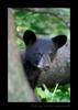 Black Bear Spring Cub