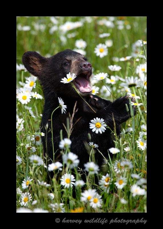 Black-Bear-cub-eatng-daisies