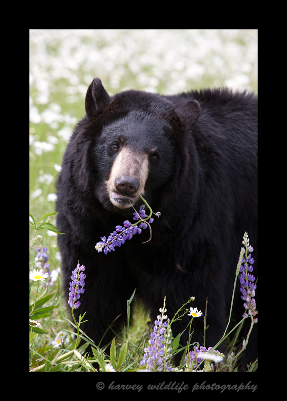 Black-Bear-mom-and-flowers