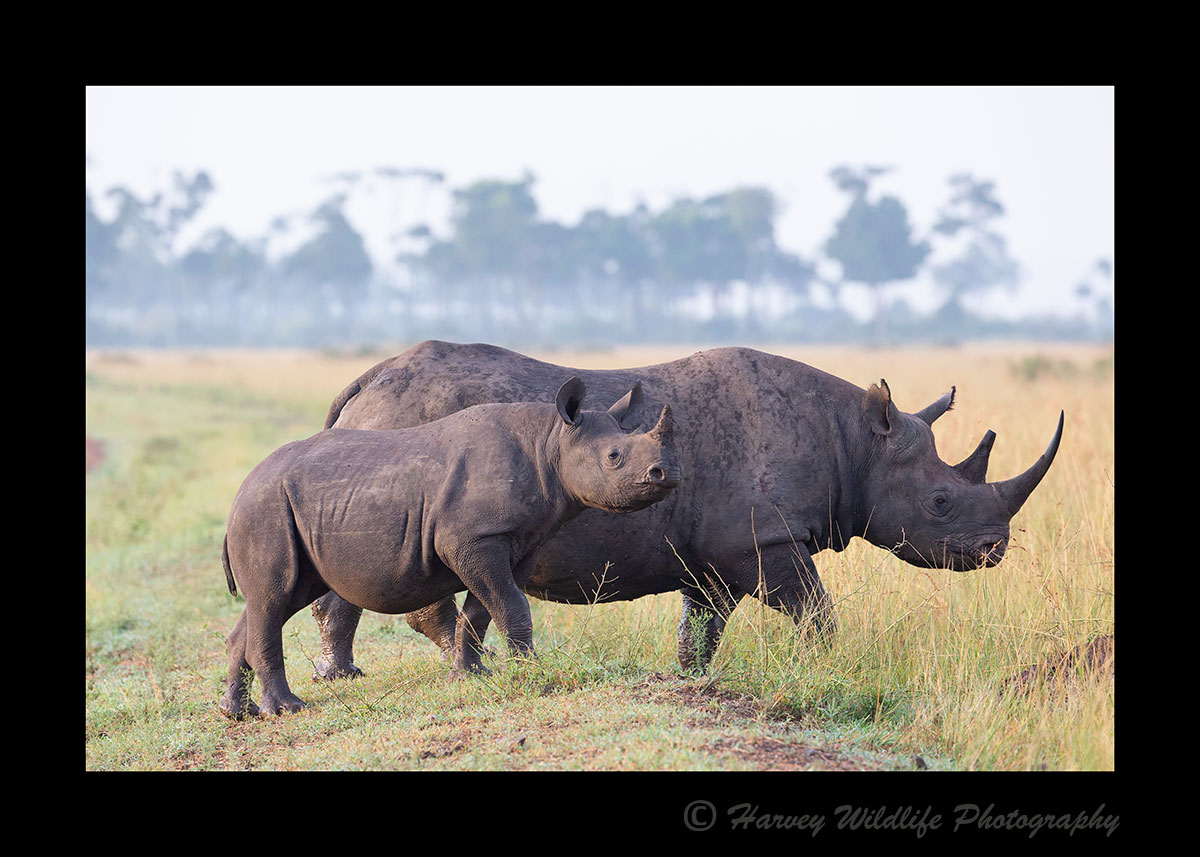 Black-Rhino-Mom-and-Calf