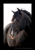Picture of a black stallion portrait. Photo taken by Greg of Harvey Wildlife Photography. Image taken in the South of France.