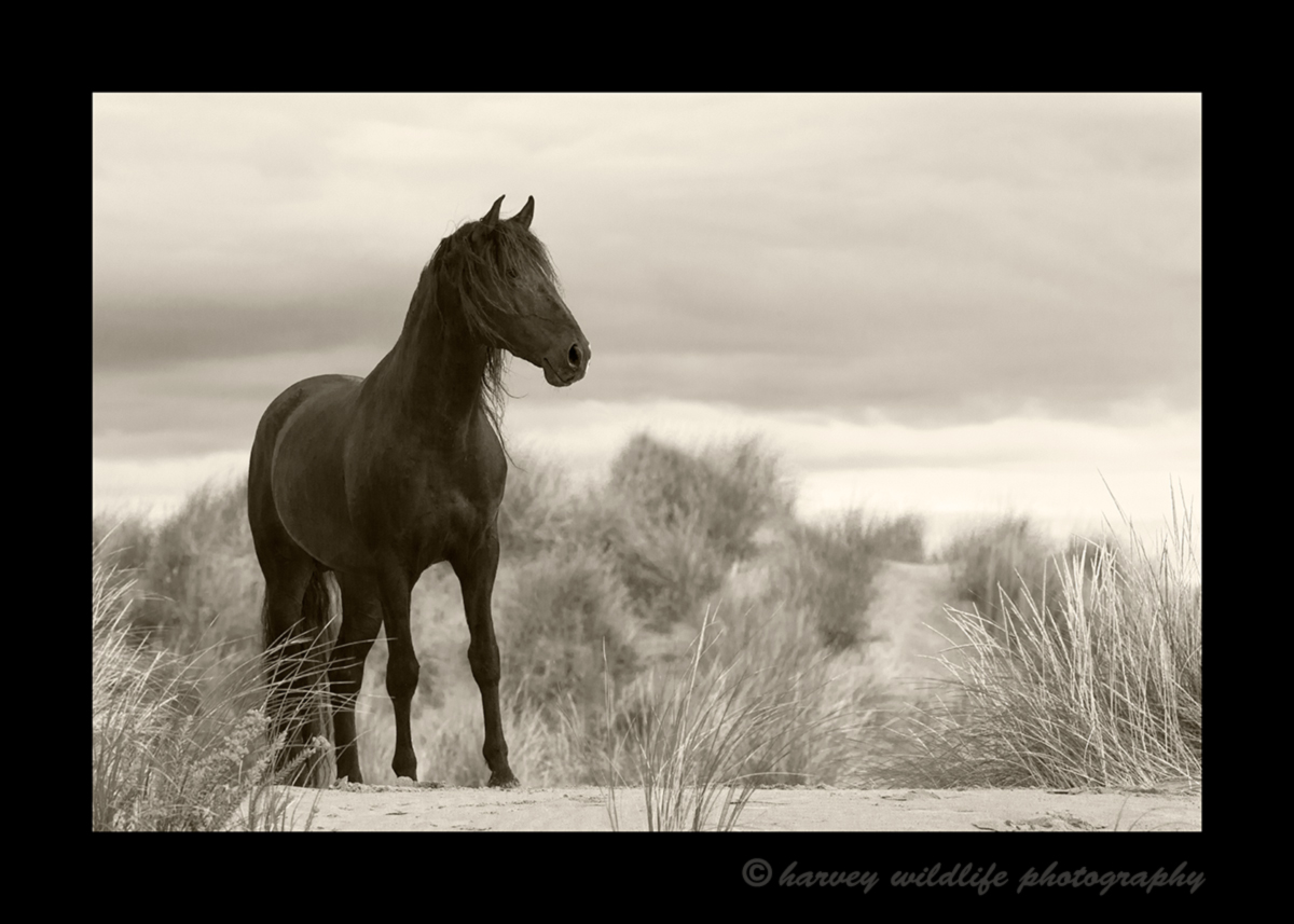 Picture of a black stallion on a sand dune in the Camargue region of Southern France.