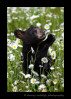 Black bear cub smelling daisies
