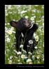 Black bear cub smelling daisies