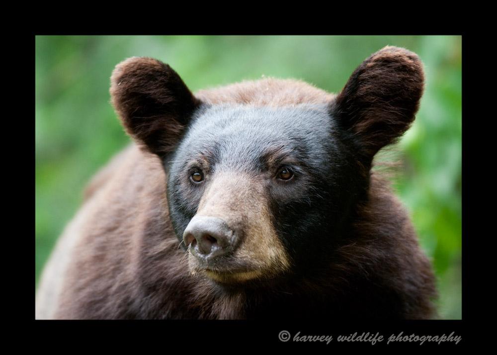 Black-bear-juvenile-close-up