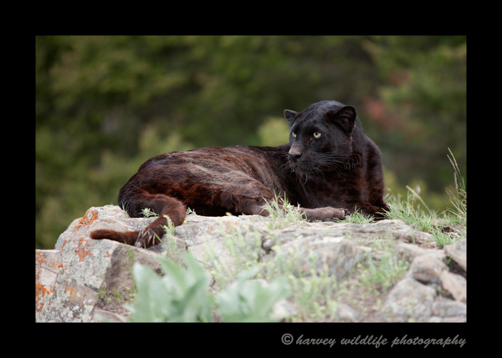 This male black leopard is a captive cat in Montana.