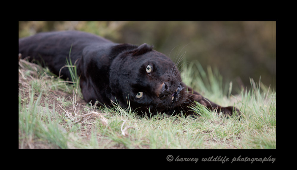This is a captive black leopard living in Montana.