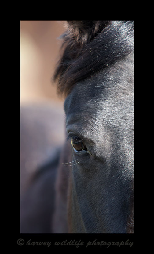 Picture of a black horse\'s eye in Ponoka, Alberta, 2015. Photograph by Harvey Wildlife Photography.