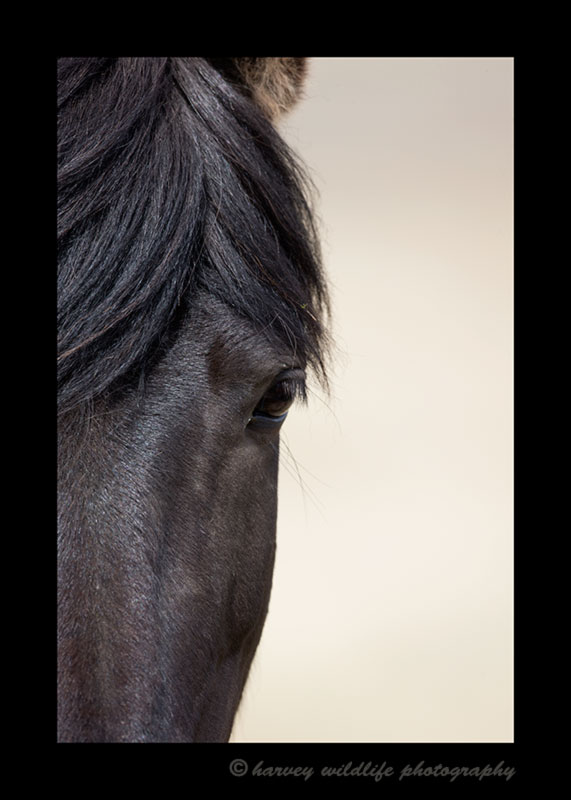 Picture of an Icelandic horses black face.