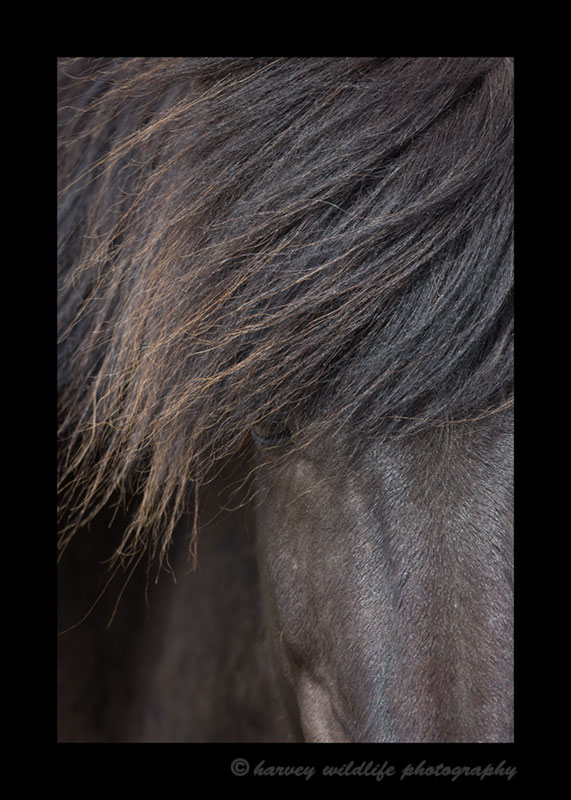 Picture of a black horses mane in Iceland.