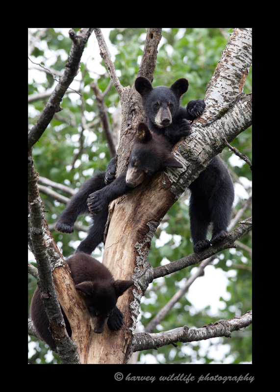 Black_bear_triplets_2009