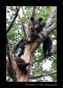 Black_bear_triplets_2009