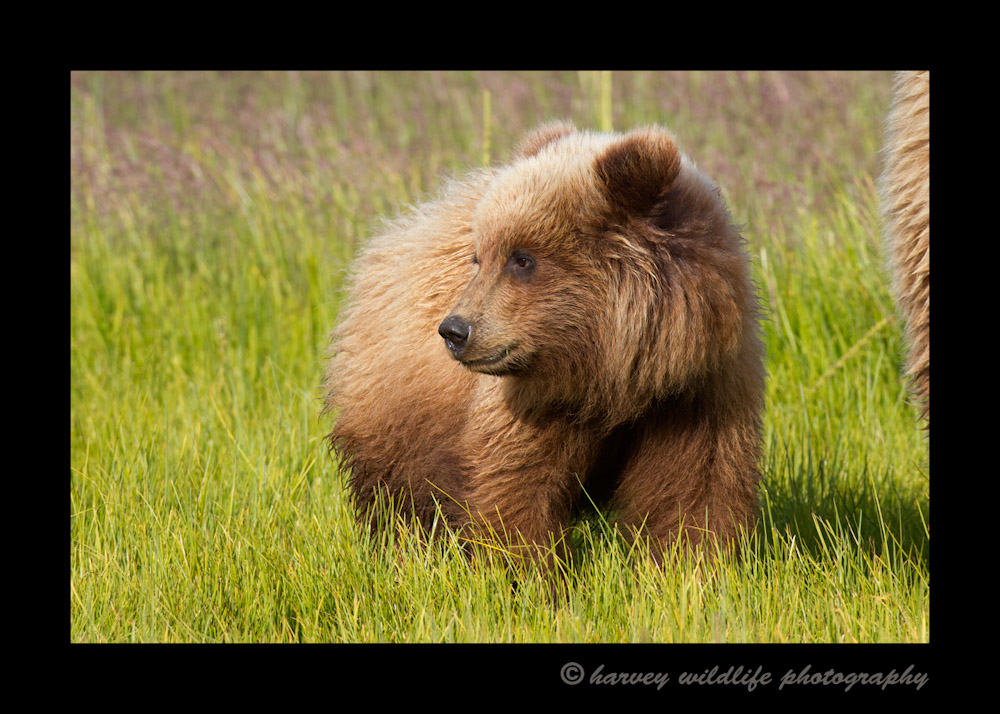 This blonde brown bear cub was in a field in Alaska.