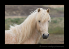 Photograph of a blonde Icelandic pony.