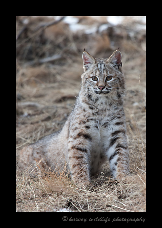 This bobcat is a wildlife model.