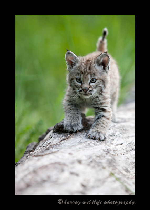 This bobcat kitten is a wildlife model living in Montana, USA.