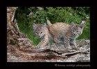 These bobcat kittens are wildlife models.