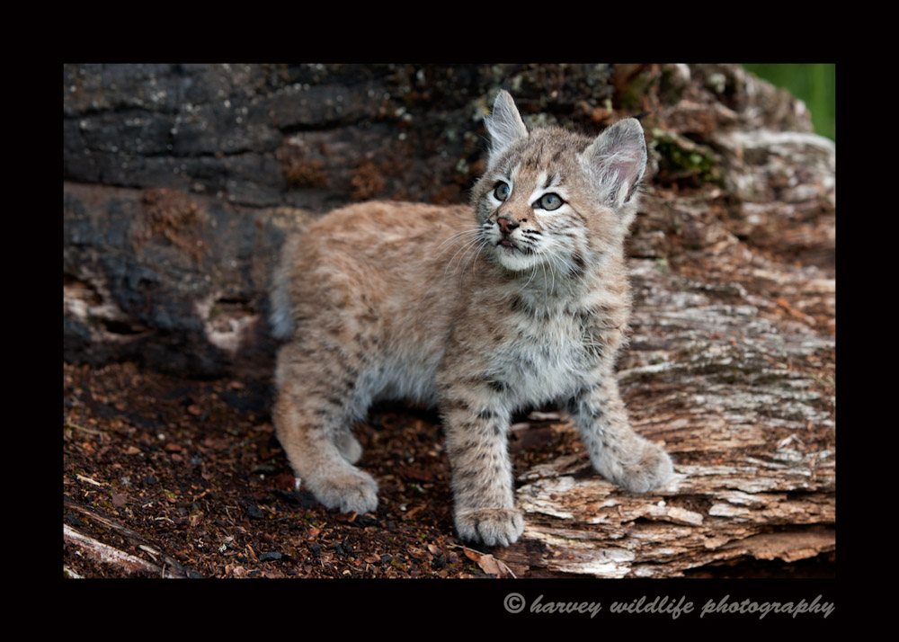 Bobcat kittens in the wild
