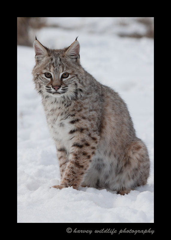 Bobcat-portrait