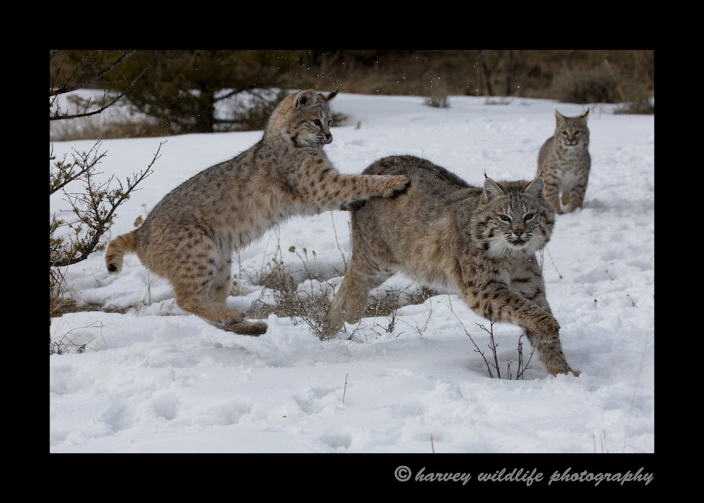 Captive bobcats living in Montana.