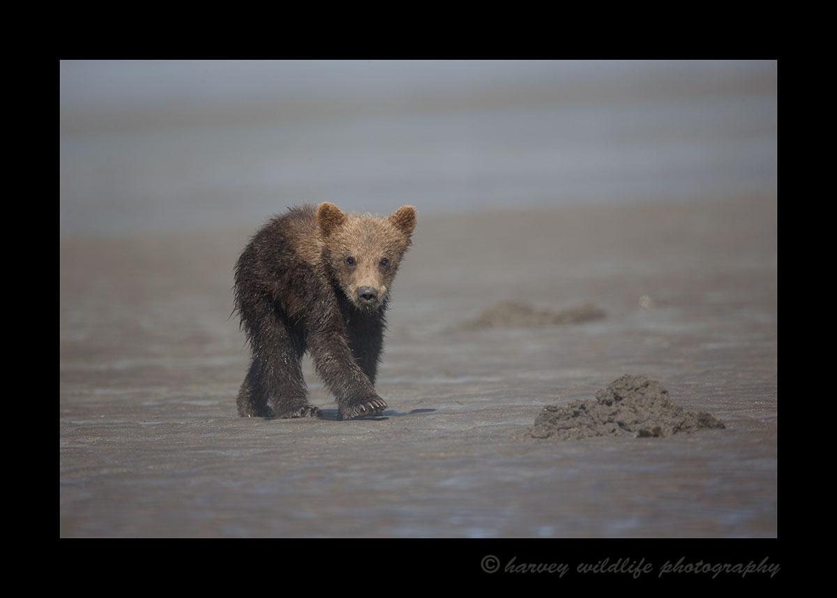 Brown Bear Walking Cub