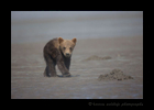 Brown Bear Walking Cub