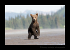 Brown Bear Cub on Alert