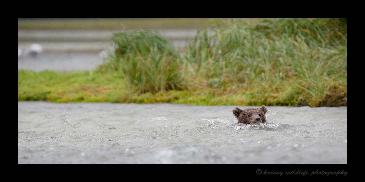 Swimming Brown Bear Cub