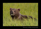 Brown Bear cub eating grass