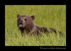 Brown Bear cub eating grass