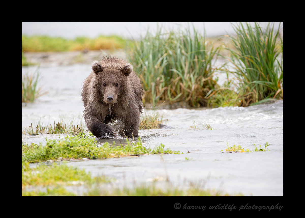 Brown Bear Cub, Geographic Bay