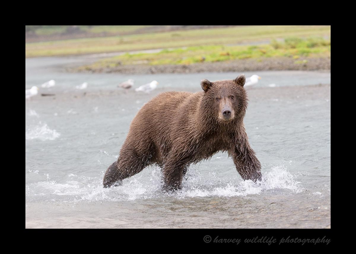 Brown Bear Cub in Creek