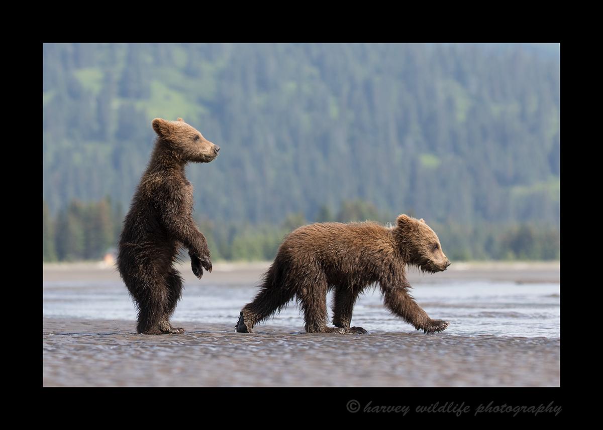 Brown Bear Cubs Running
