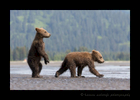 Brown Bear Cubs Running